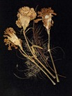 flowers; dried flowers